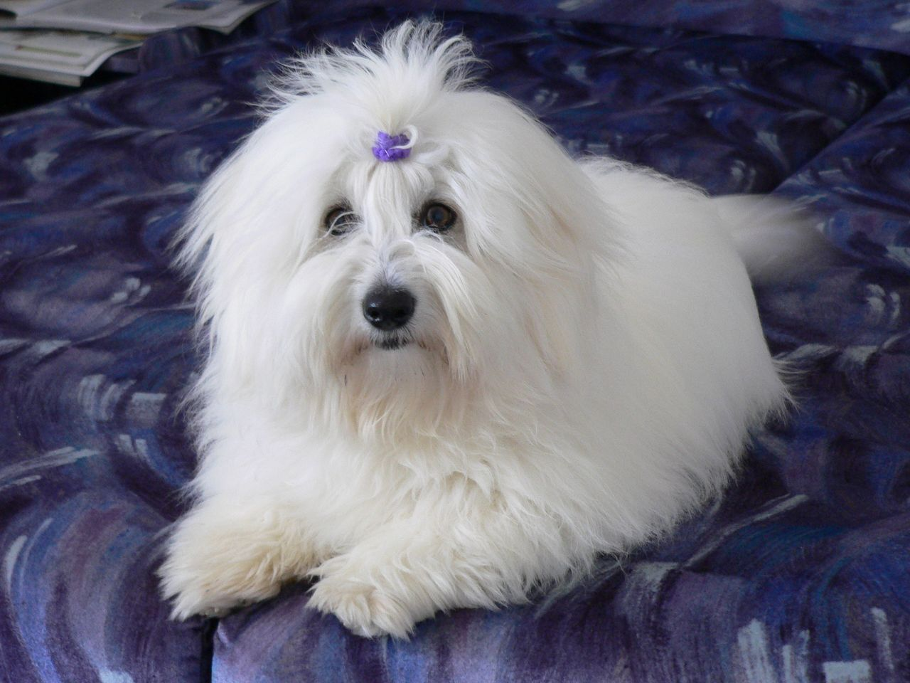 Lying Coton de Tulear dog wallpaper