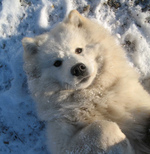 Lying Samoyed dog