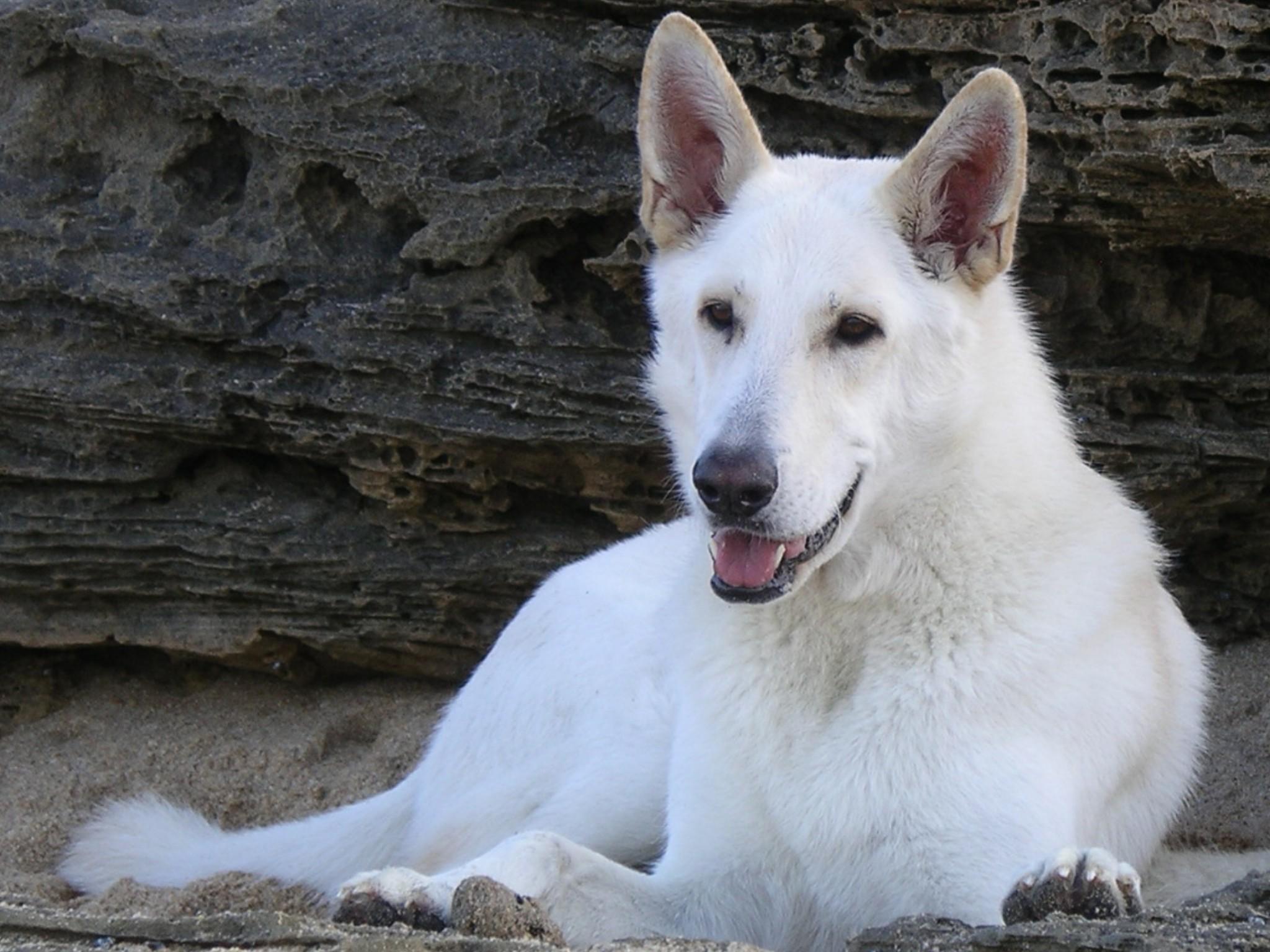 Lying White Shepherd dogs wallpaper
