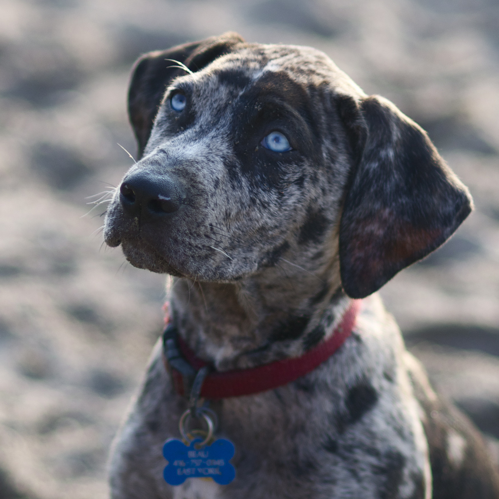 Macro Catahoula Cur dog wallpaper