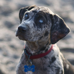 Macro Catahoula Cur dog