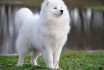 Majestic Samoyed dog