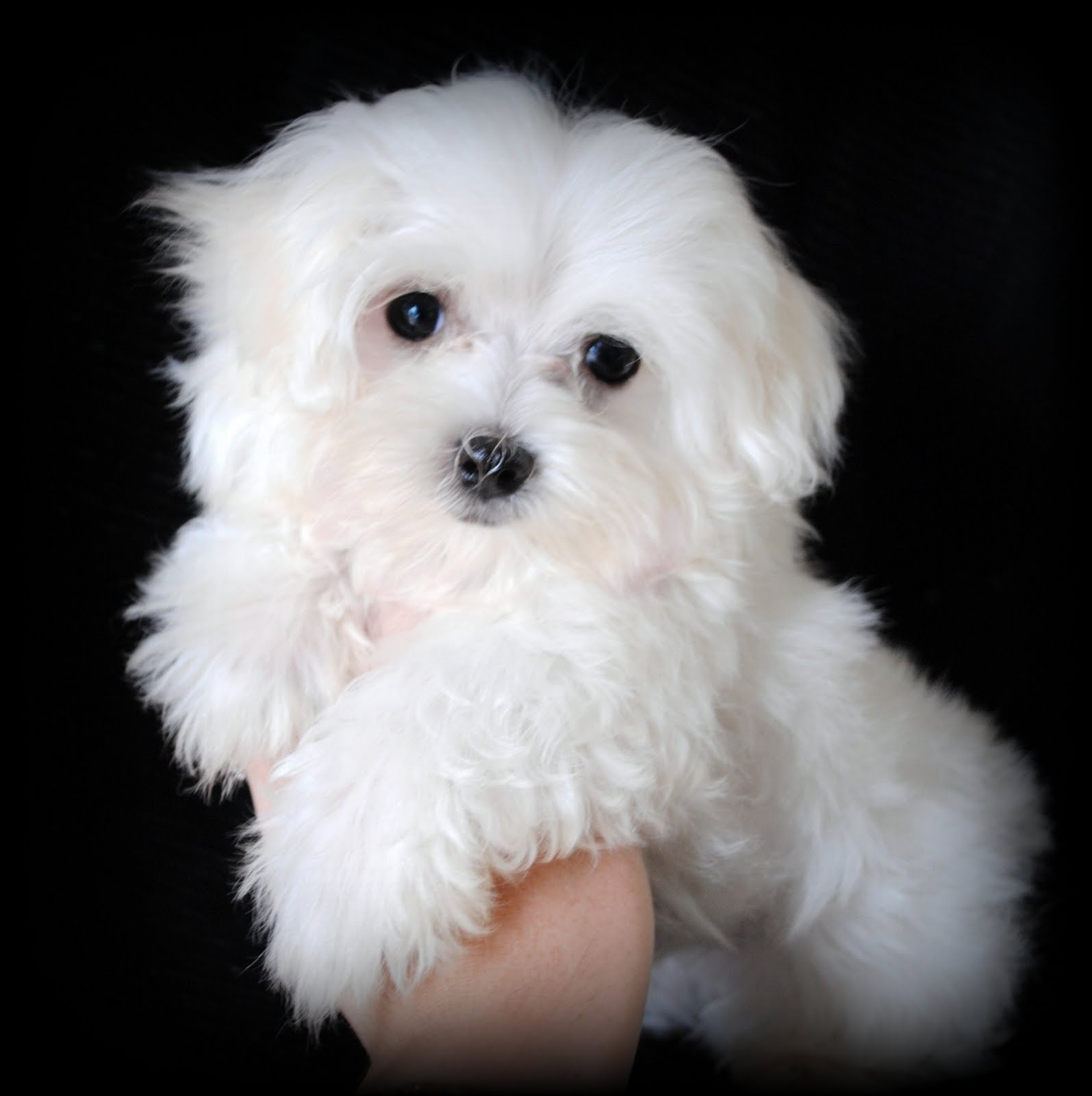 Maltese Dog Portrait Photo And Wallpaper. Beautiful