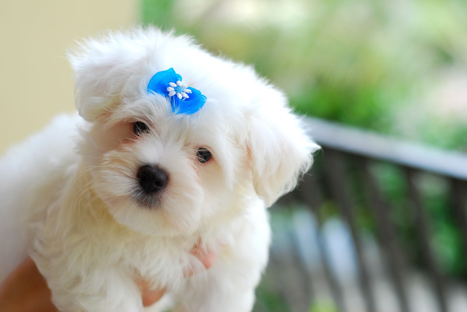 Wonderful Wallpaper Bow Adorable Dog - maltese-dog-with-a-blue-bow-photo  Picture_707596  .jpg