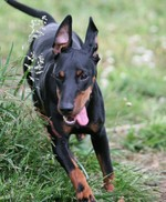 Manchester Terrier dog for a walk