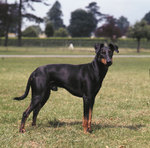 Manchester Terrier dog on the field