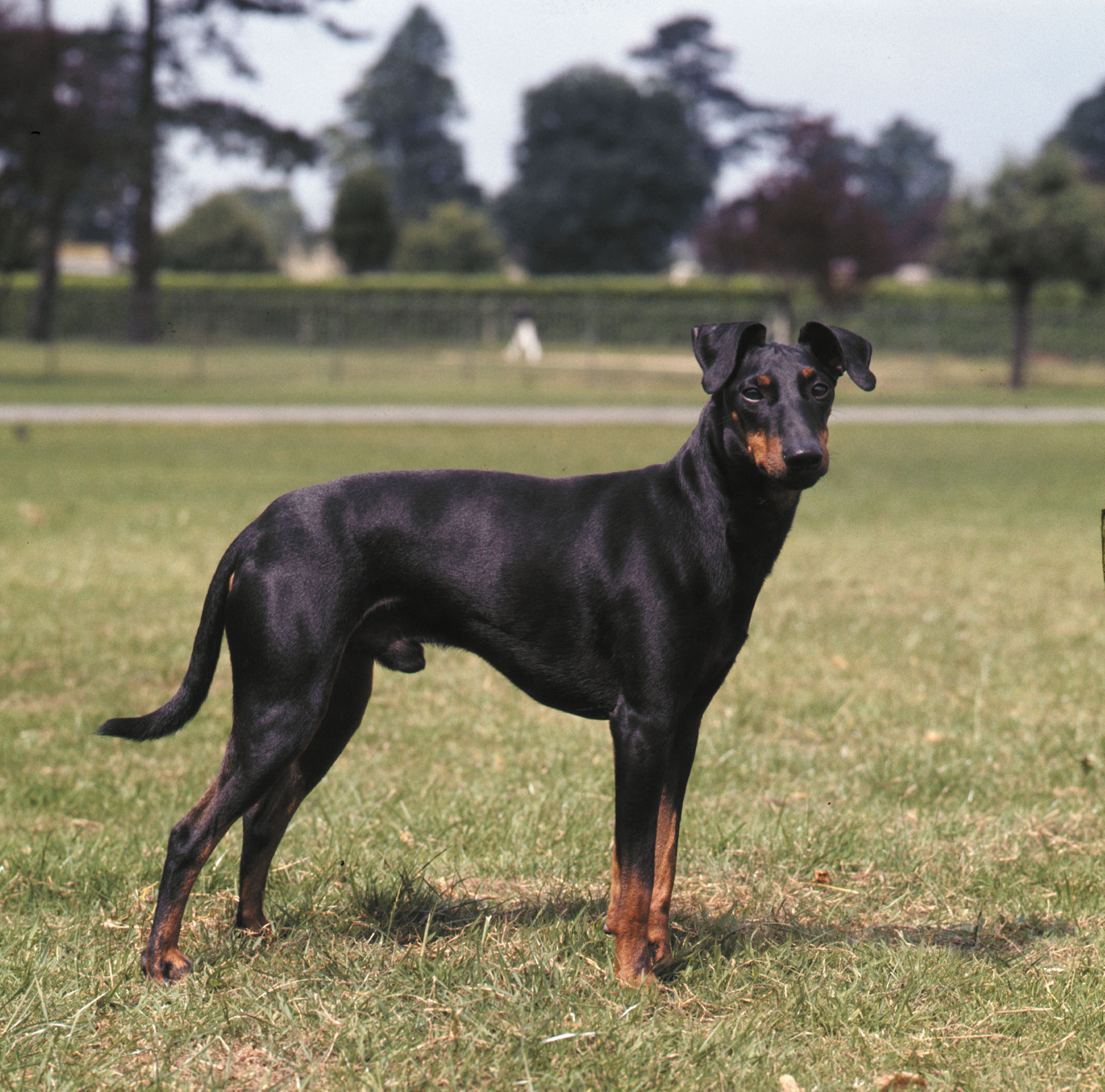 Manchester Terrier dog on the field wallpaper