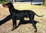 Manchester Terrier dog picture