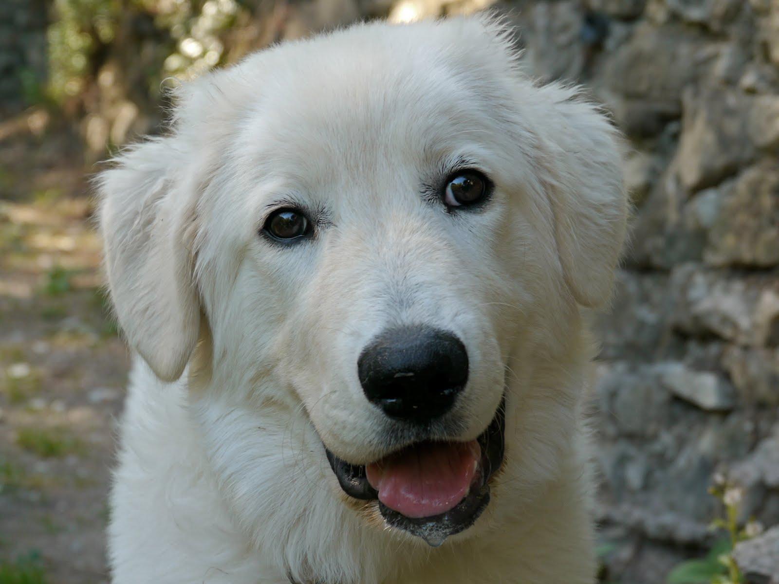 Maremma Sheepdog dog face wallpaper