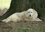 Maremma Sheepdog dog near the tree