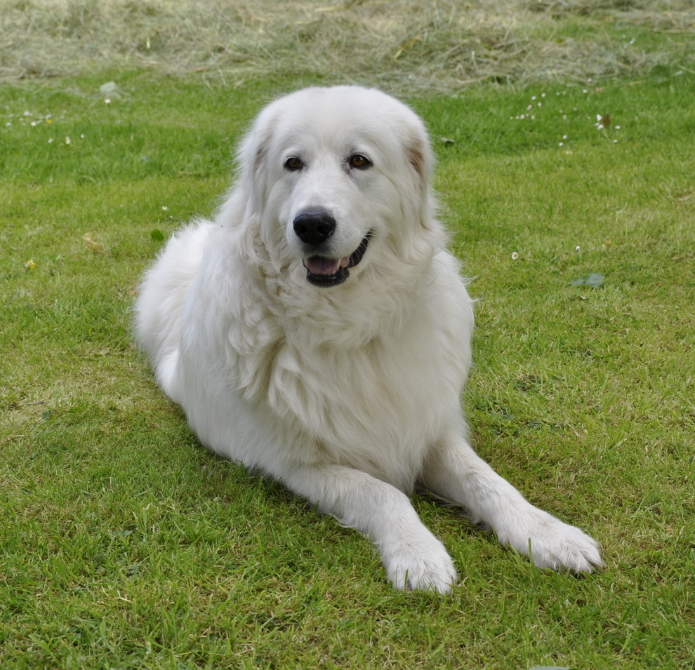 Maremma Sheepdog dog on the grass wallpaper