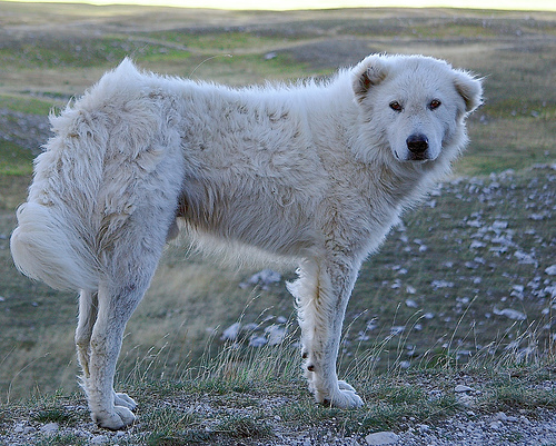 Maremma Sheepdog wallpaper