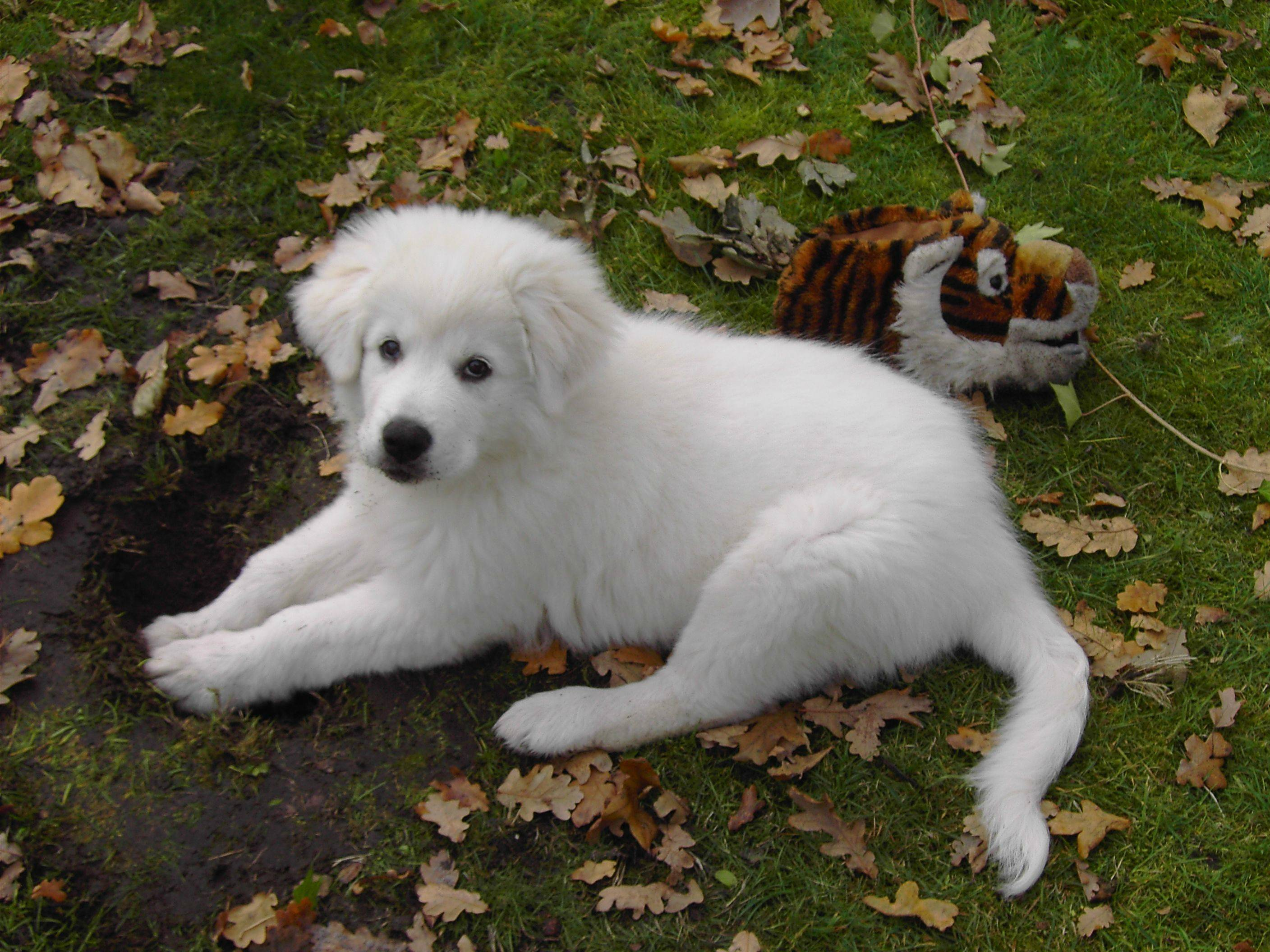 Maremma Sheepdog puppy wallpaper