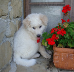 Maremma Sheepdog puppy with a flower