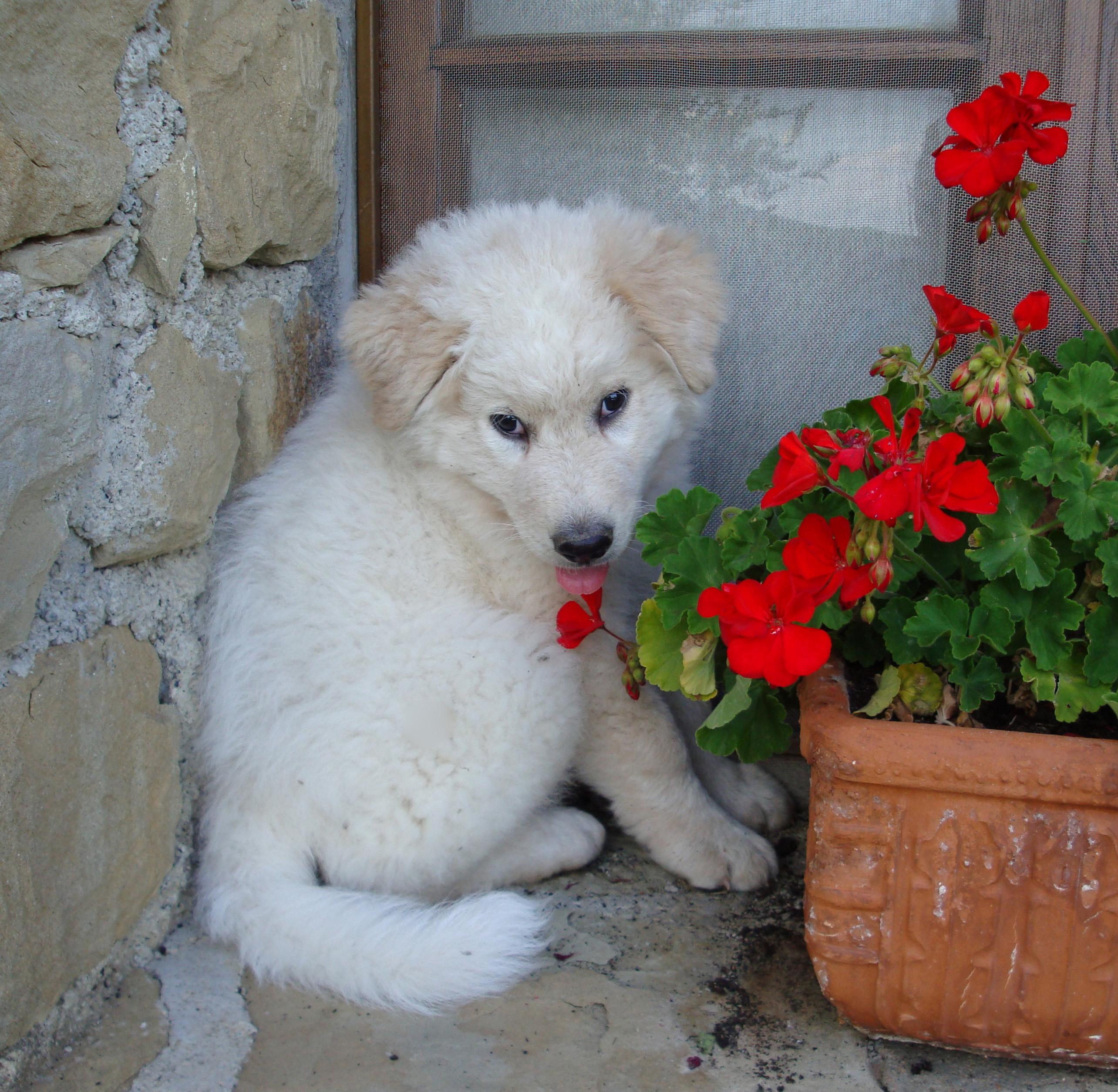 Maremma Sheepdog puppy with a flower wallpaper