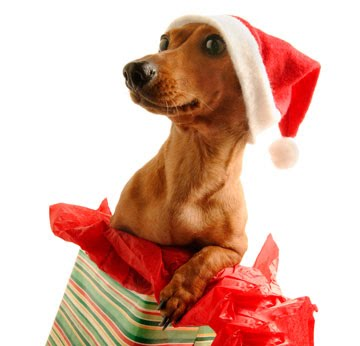 Merry Christmas Dachshund wallpaper