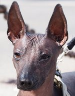 Mexican Hairless Dog face
