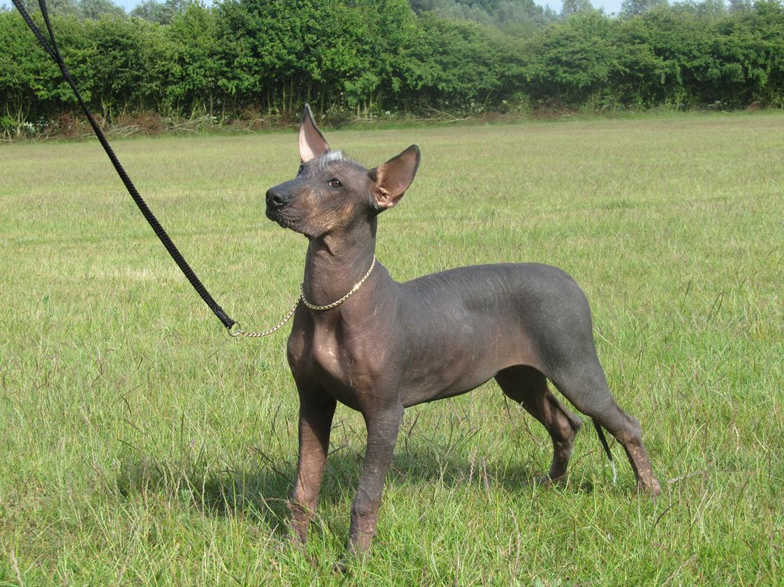 Mexican Hairless Dog on the field wallpaper