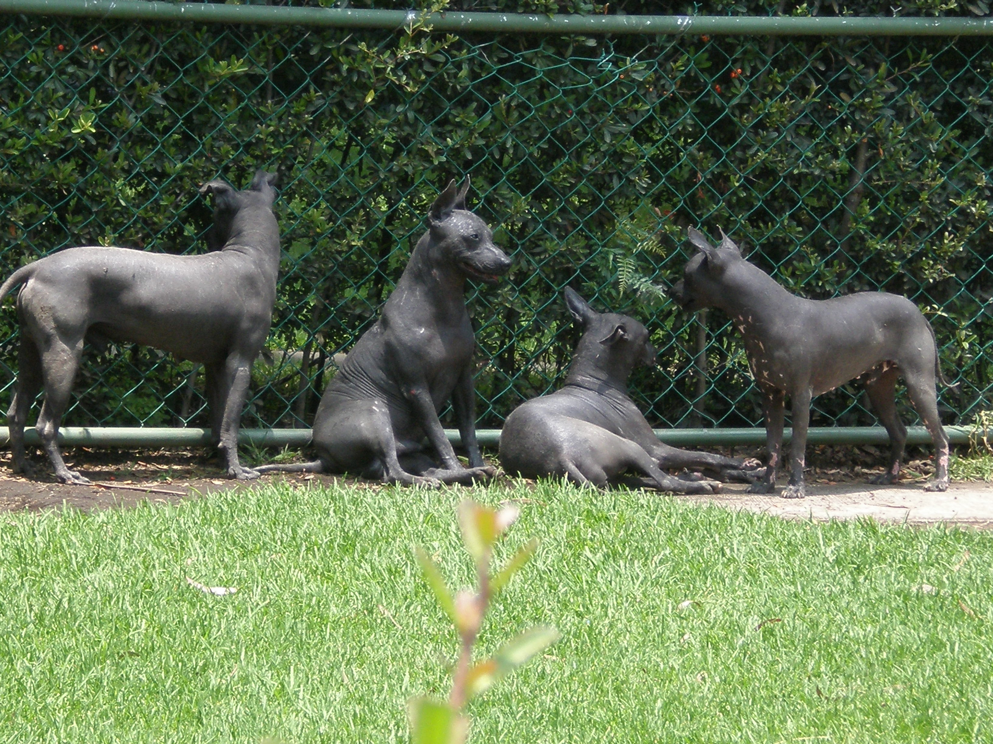 Mexican Hairless Dogs wallpaper