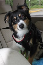 Miniature Australian Shepherd dog in the car