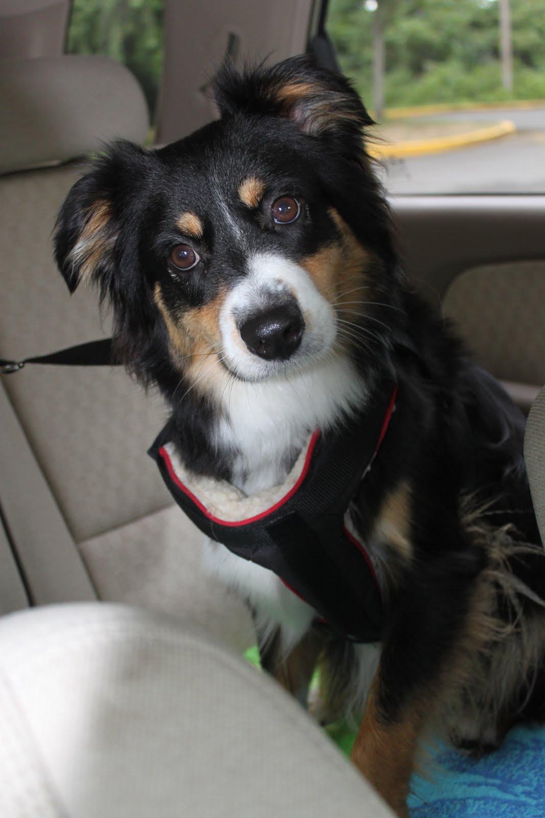 Miniature Australian Shepherd dog in the car wallpaper