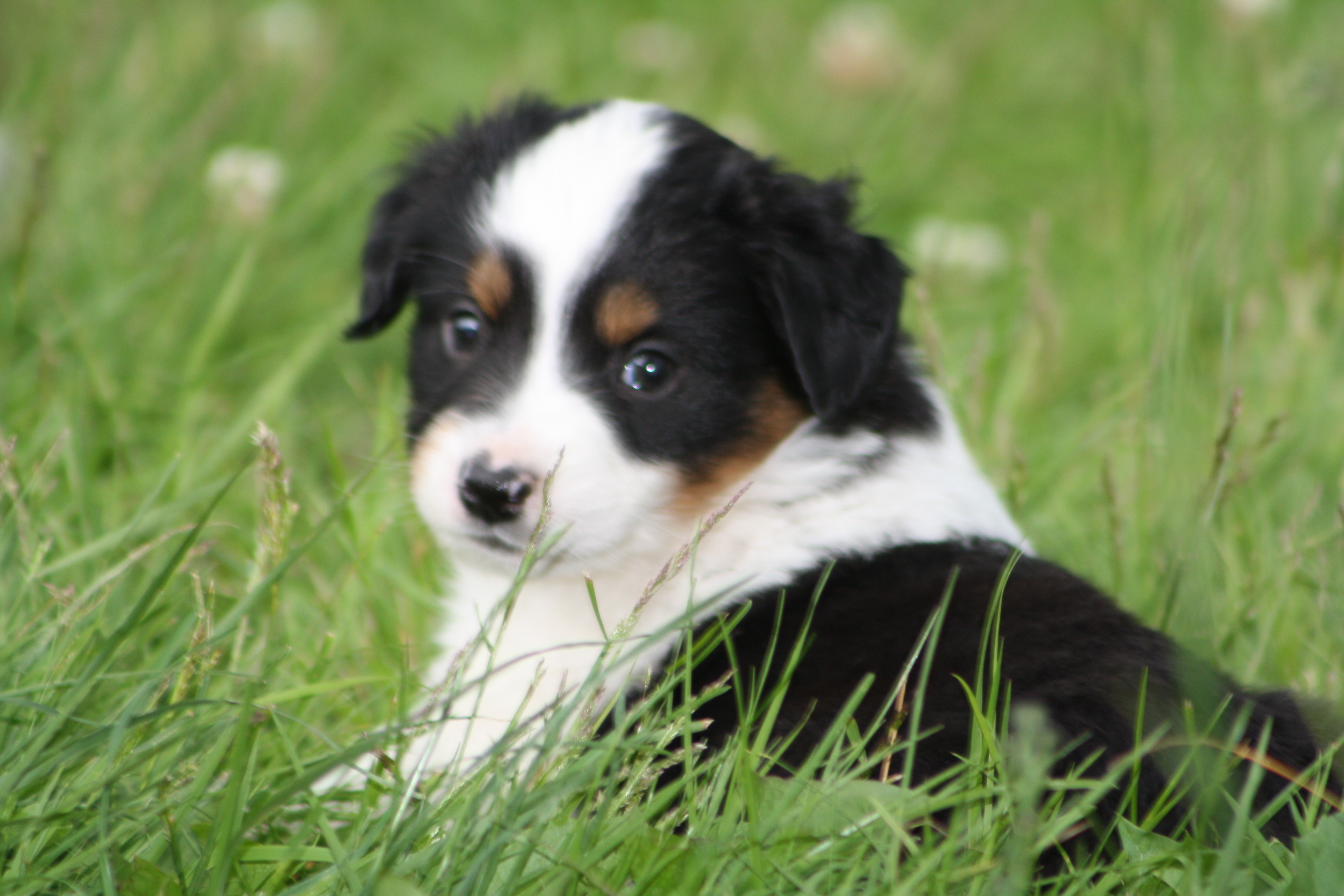Add photos Miniature Australian Shepherd dog in the grass in your blog