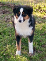 Miniature Australian Shepherd for a walk