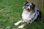 Miniature Australian Shepherd near the tree