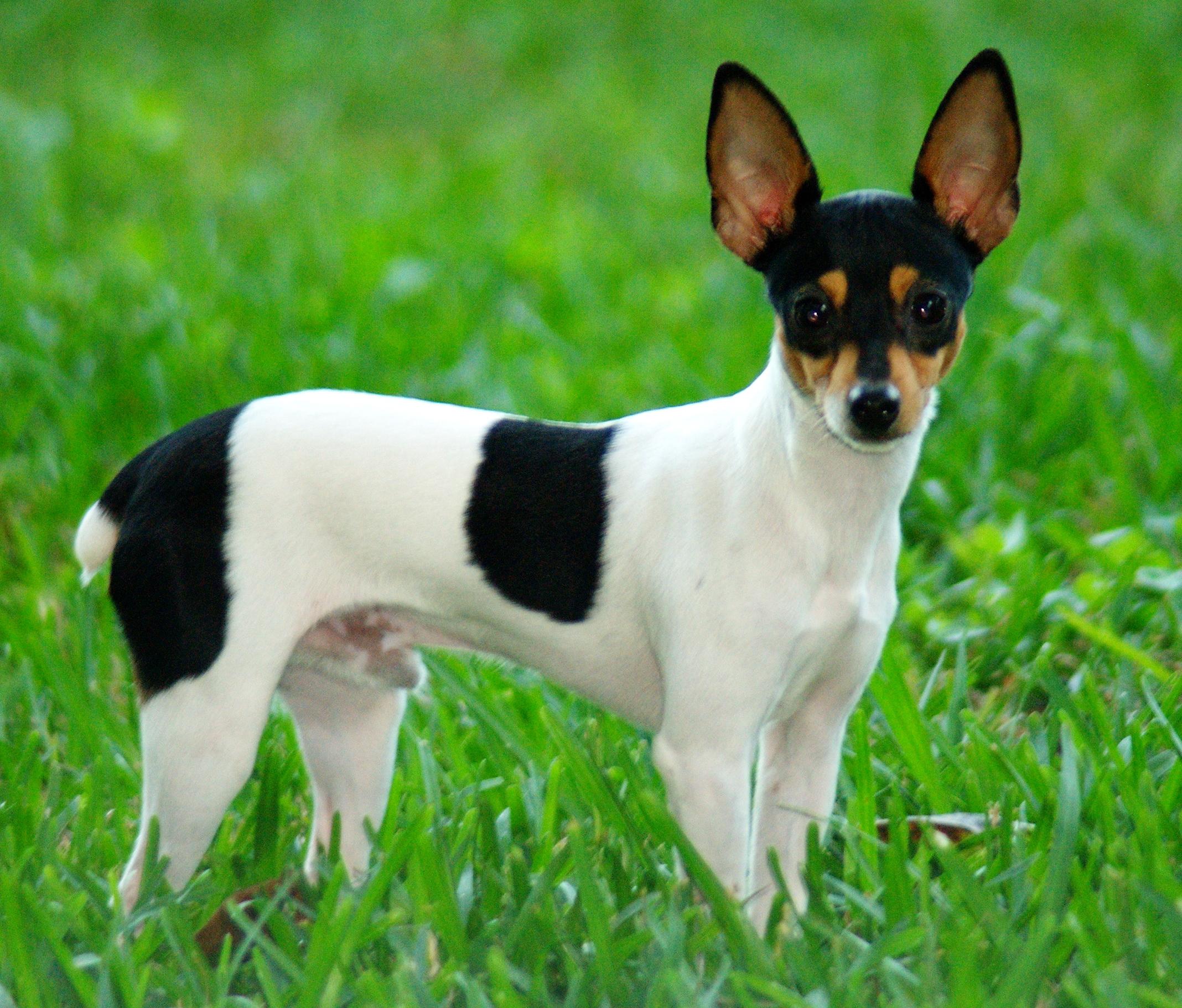 Miniature Fox Terrier in the grass wallpaper