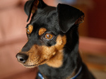 Miniature Pinscher dog face