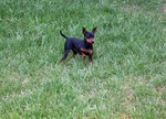Miniature Pinscher on the grass