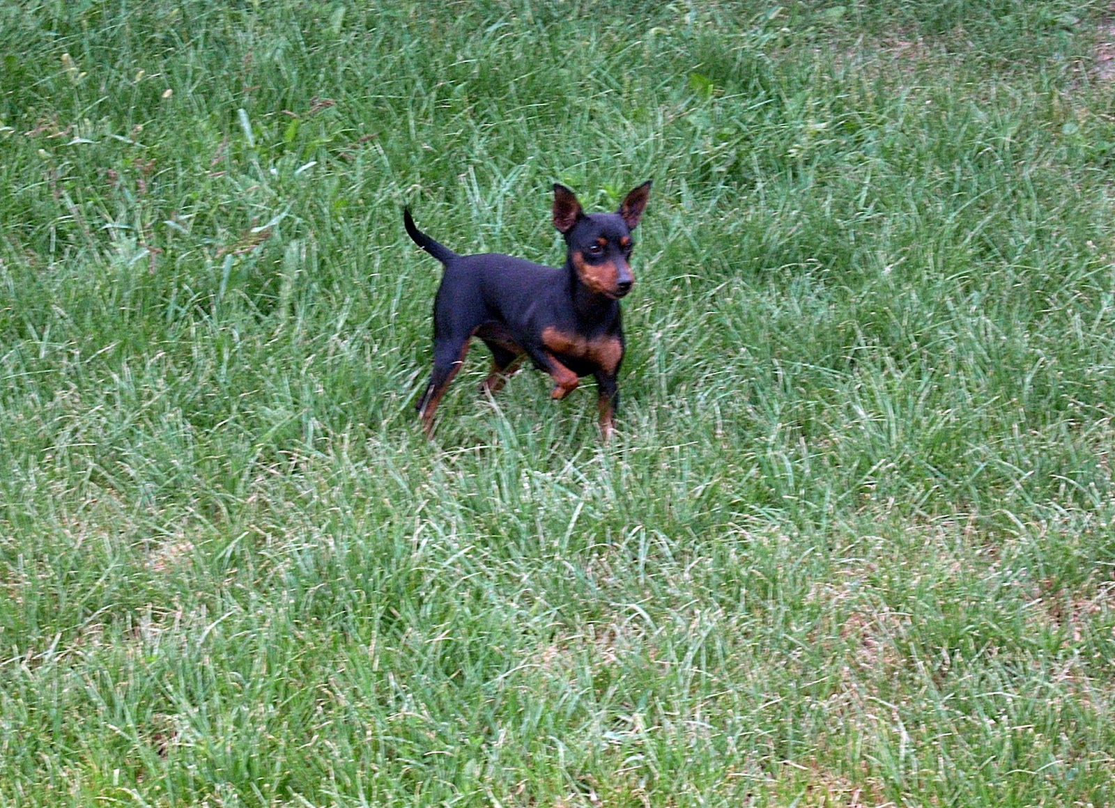 Miniature Pinscher on the grass wallpaper