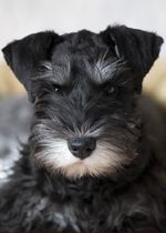 Miniature Schnauzer dog face