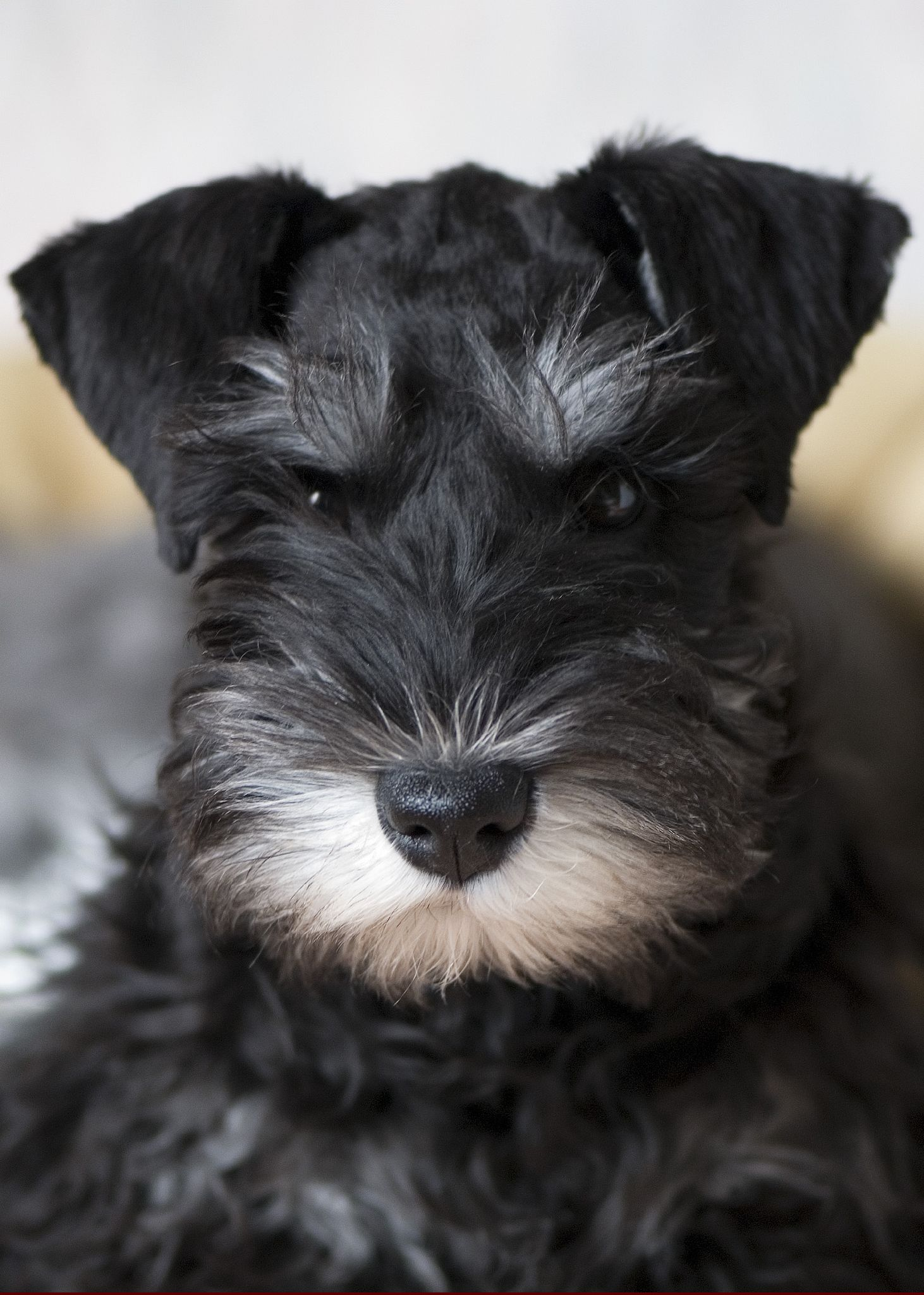 Miniature Schnauzer dog face wallpaper