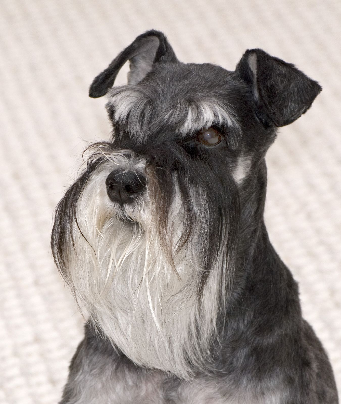 Miniature Schnauzer dog portrait wallpaper