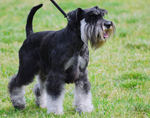 Miniature Schnauzer for a walk