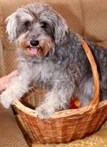 Miniature Schnauzer in a wicker basket