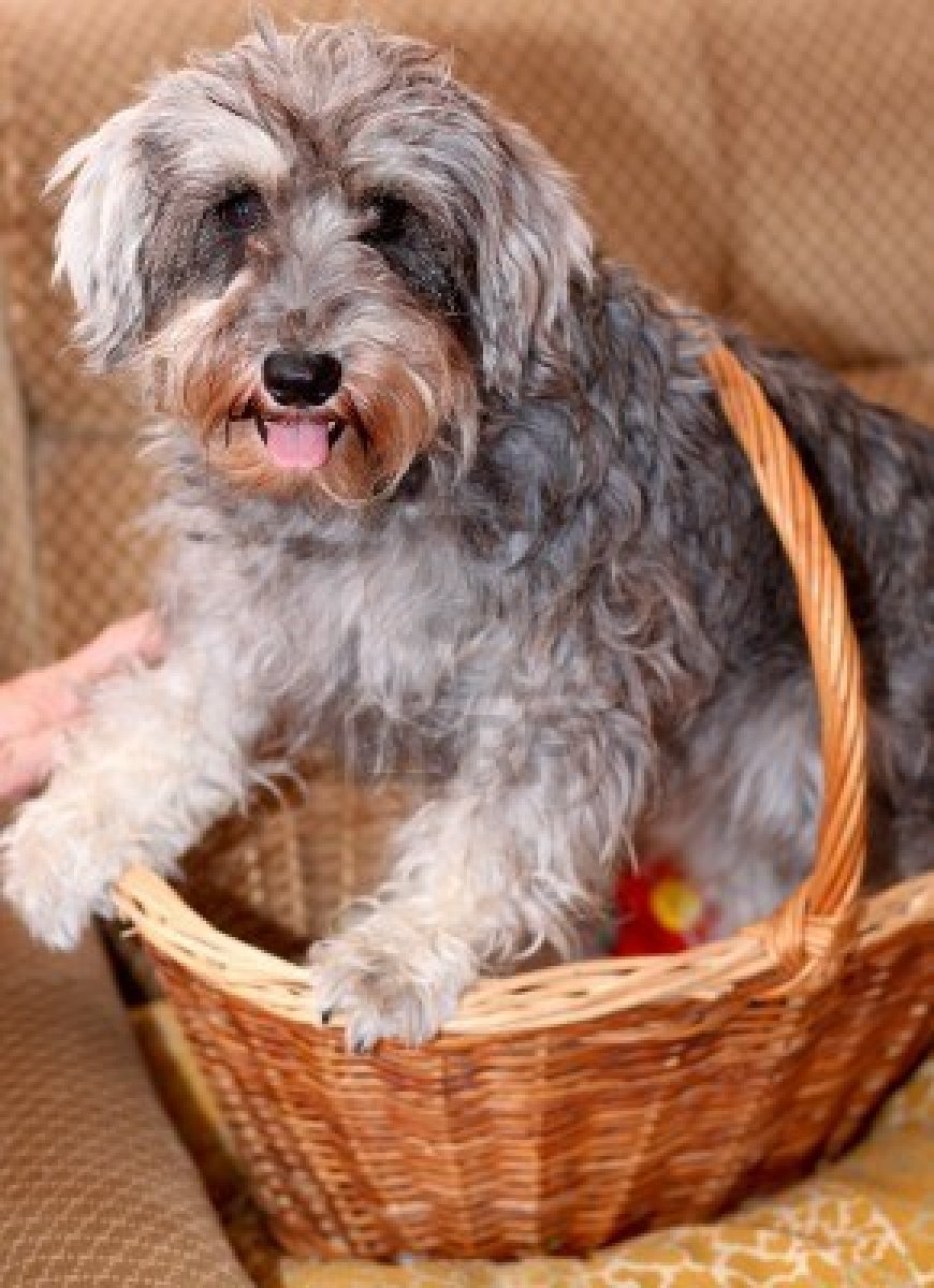 Miniature Schnauzer in a wicker basket wallpaper