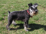 Miniature Schnauzer with a red collar