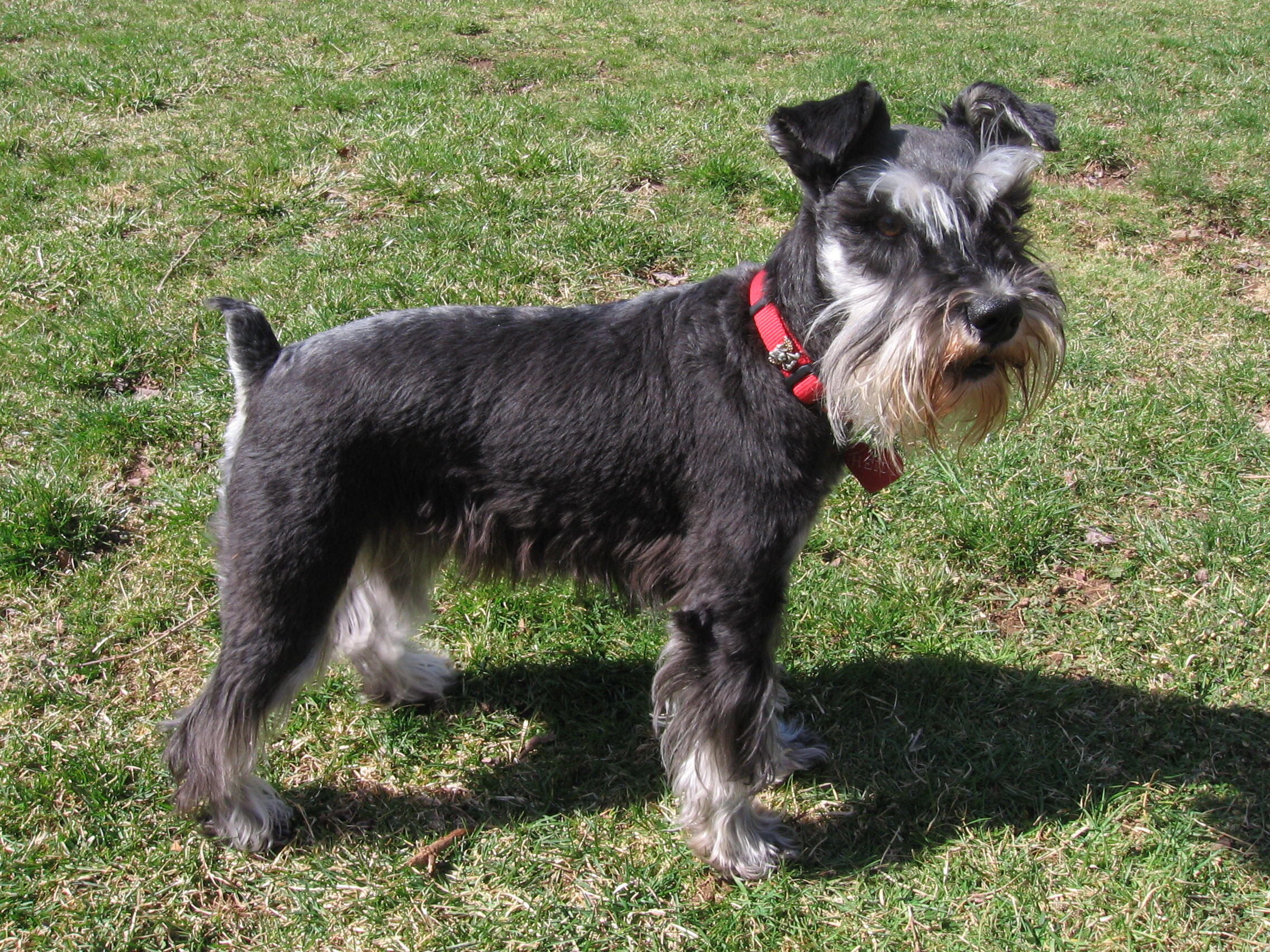 Miniature Schnauzer with a red collar wallpaper