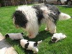 Mioritic dog with her babies
