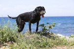 Montenegrin Mountain Hound by the ocean