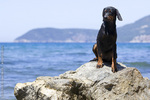 Montenegrin Mountain Hound in the mountain