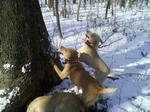 Mountain View Cur dogs