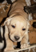 Mountain View Cur puppy