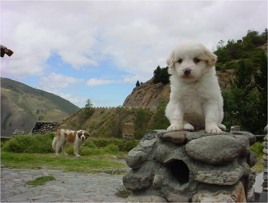Щенок собаки мукучиес фото