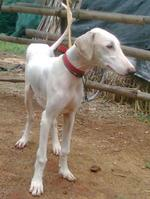 Mudhol Hound  dog in a red collar
