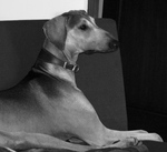Mudhol Hound dog portrait
