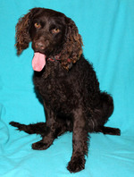 Murray River Curly Coated Retriever portrait