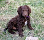Murray River Curly Coated Retriever puppy